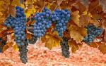 6929723-grapes-leaves-macro-autumn-nature.jpg